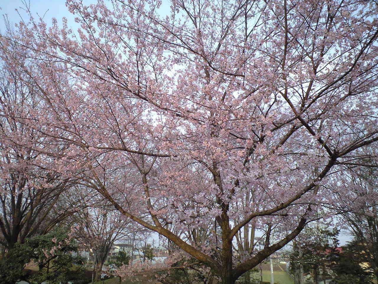 Sakura122