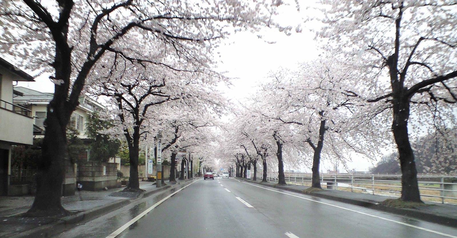 Sakuraline_2