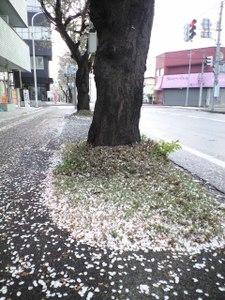 Sakurachiru